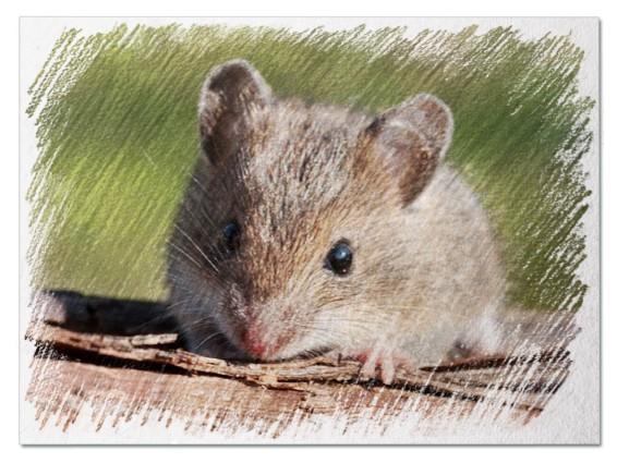 Большая мышь во сне