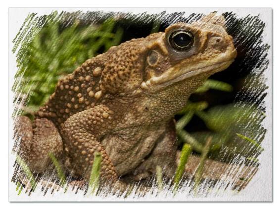 Большая жаба во сне