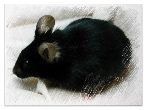 Черная мышь во сне