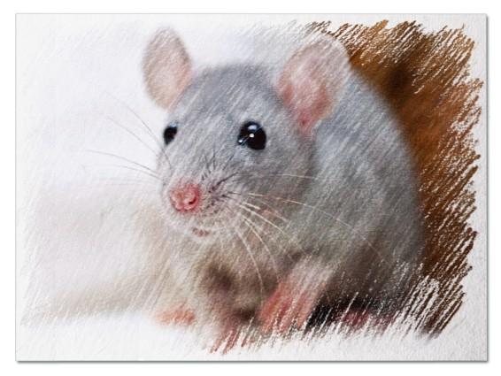 Серая мышь во сне