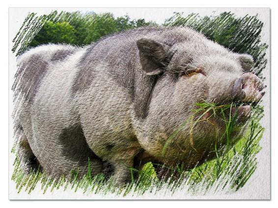 Большая свинья во сне